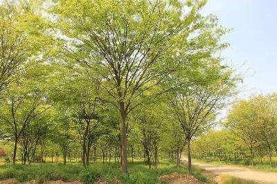 榉树(2-8cm)12000株