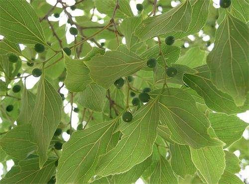 朴树(2-8cm)20000株