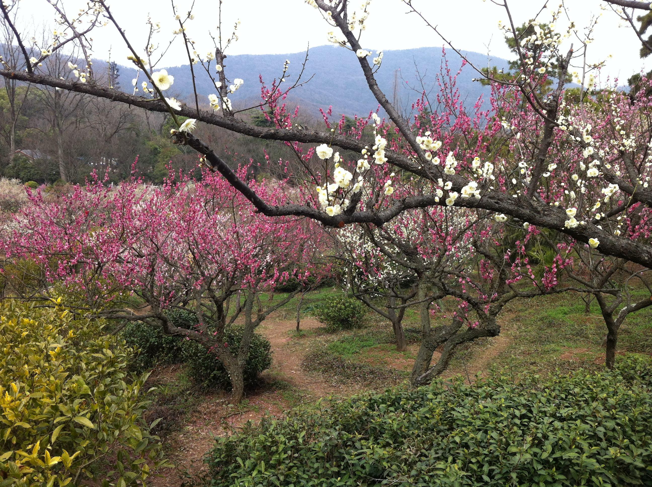 梅花(4cm /1m*1.2m冠,有青梅、绿叶梅、骨里红、国红等品种)各2000棵以上